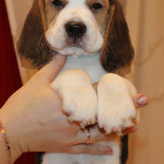 beagle-puppies-061215-10