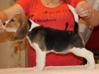 beagle-puppies-061215-11