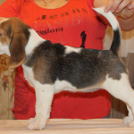 beagle-puppies-061215-13