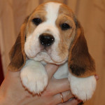 beagle-puppies-061215-14
