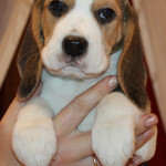 beagle-puppies-061215-15