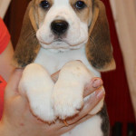 beagle-puppies-061215-16