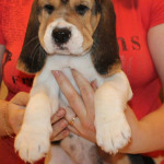 beagle-puppies-061215-7