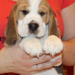 beagle-puppies-061215-9